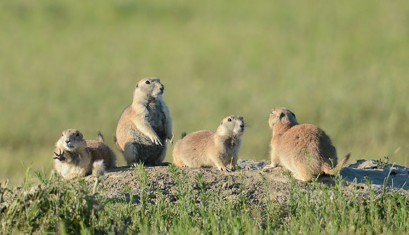 Prairie Dogs, SD