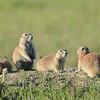 Prairie Dogs, South Dakota