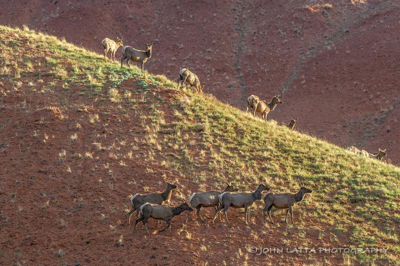 Migrating Elk at Red Hills