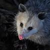 Opossum, IN