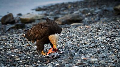 Feeding Bald Eagle