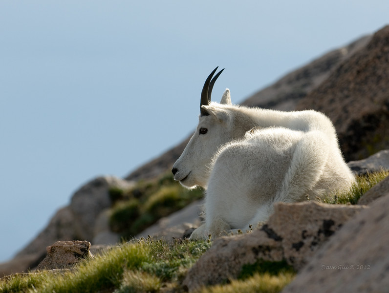 A Billy (Oreamnos americanus, Colorado Goat, or Mountain Goat) resting in the sun on the alpine tundra.