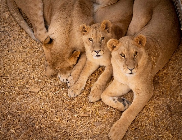 Rescued Lions Resting Together