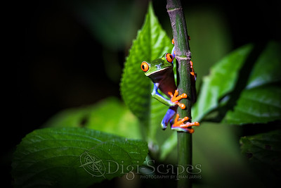 Red Eyed Tree Frog - Landscape