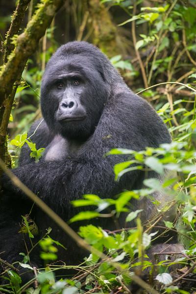 Mishia, Alpha Silverback, Bwindi Impenetrable Forest, Uganda