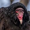Turkey Vulture 12/11/16