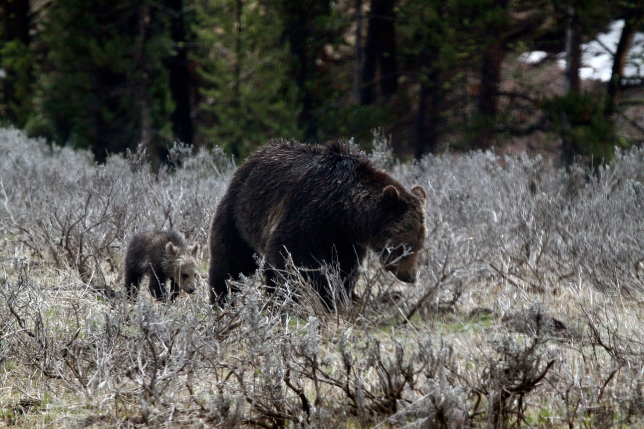 Grizzly Sow and Cub near Fishing Bridge - Yellowstone National Park