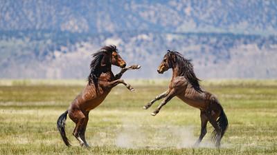 Battling Stallions