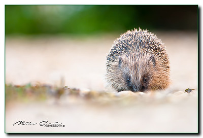 JUVENILE HEDGEHOG