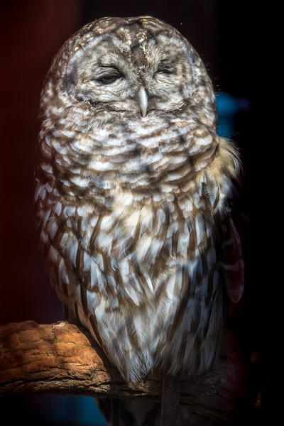 Barred Owl 3/1/16