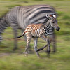 Zebra foal running beside its mother, Amboseli National Park, Kenya, East Africa