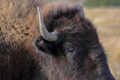 Oh Buffalo!