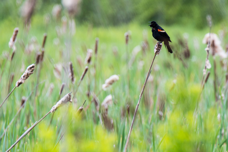 Red-winged Blackbird Song