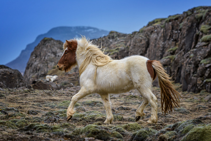 A regal Icelandic horse in the moss on the south coast of Iceland