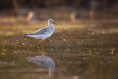 Lesser Yellowlegs Morning Reflection