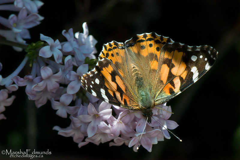 Painted Lady Butterfly Visiting Lilacs