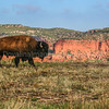 Bison through the Canyons