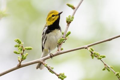 387- Black-throated Green Warbler