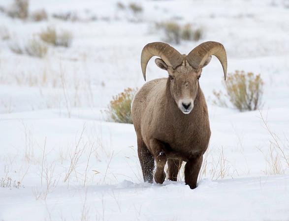 Bighorn Ram | Miller Butte | Wyoming