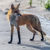 Red Fox 5/31/21