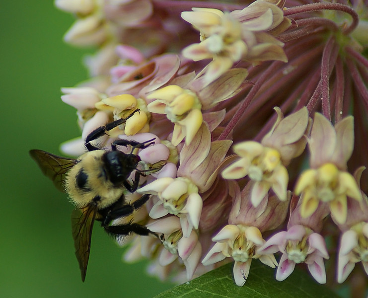 Bumblebee on milkweed, IN