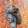 Black Bear Cub Climbing Aspen Tree