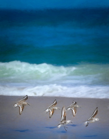 A244 - Sand Pipers on Beach