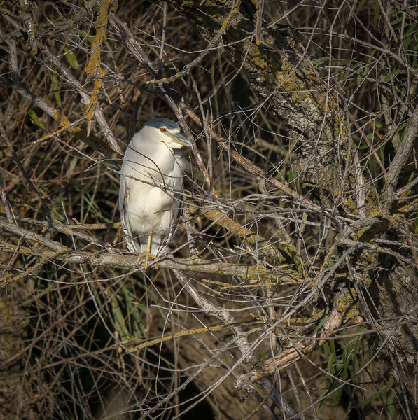 Black Crowned Night Heron 3430