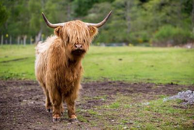 Highlands Cows Scotland