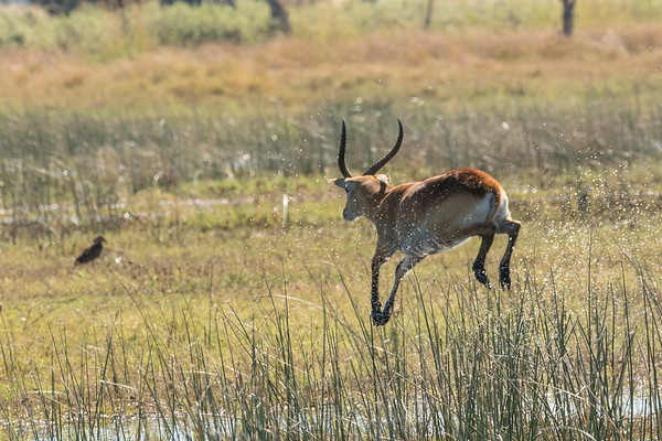 Jumping red lechwe
