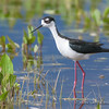 Black Necked Stilt