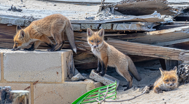 Red Fox Kits 4/27/21