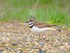 Killdeer Strut