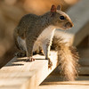 Eastern Grey Squirell