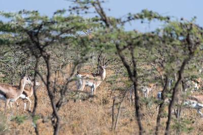 Gazelle, Grant's (spp notata)