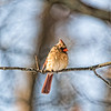 April 4 - Out On A Limb<br /> <br /> I caught this female cardinal in the early morning sunshine