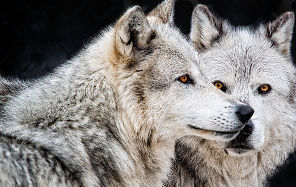 March 26 - Gray Wolves<br /> <br /> This image was also taken at the Wolf and Grizzly Learning Center in West Yellowstone<br /> <br /> Thanks so much for all your kind comments on my Heckler image I posted yesterday of the Grizzly and Raven.  They are always appreciated.