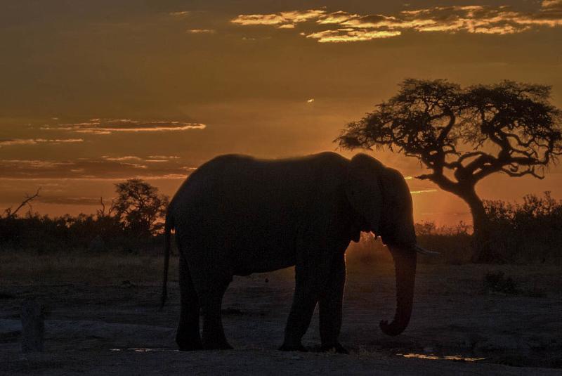 Ancient Bull Elephant, Botswana