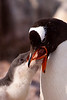 Gentoo penguin feeding