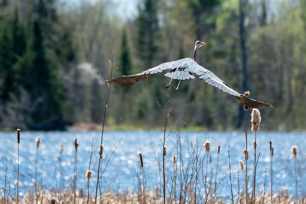 Great Blue Heron take off