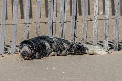 Harbor Seal Resting on Belmar Beach 3/11/18