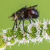 Repetitive Tachinid Fly on Flower 8/18/16