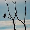 Bald Eagle Silhouette 7/17/16