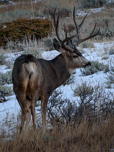 Mule Deer at Rocky Mountain National Park