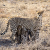 Wild cheetah with cubs, Etosha National Park, Namibia, Africa