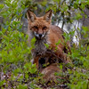 A Red Fox Nursing Her Kits 5/13/20