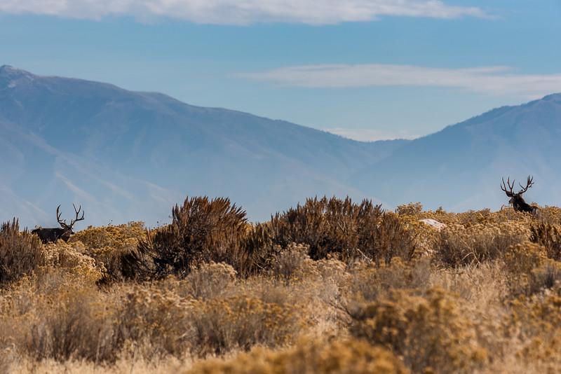 Mule Deer on Horizon