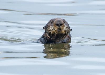 Otter, Moss Landing
