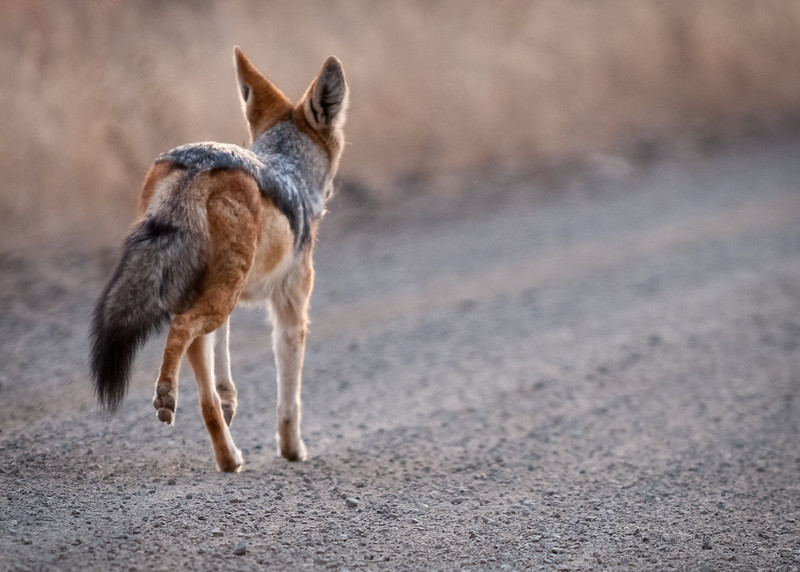 Black Backed Jackal interrupted by our vehicle during the early hours of the morning at Kruger National Park.  South Africa 2009.