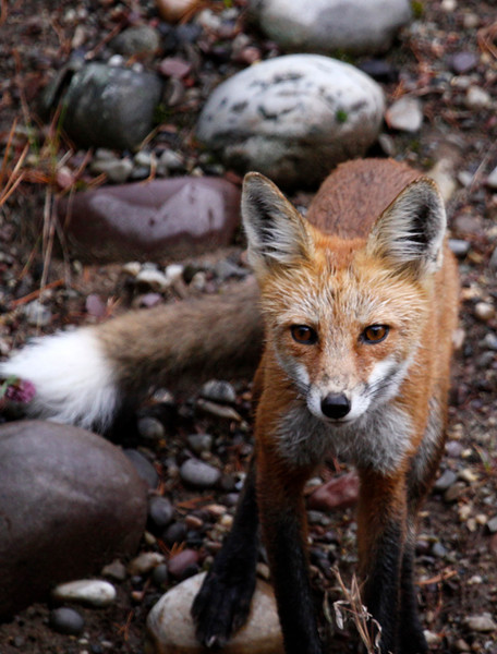 Red Fox - Grant Teton